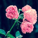 Розы: посадка и уход в открытом грунте